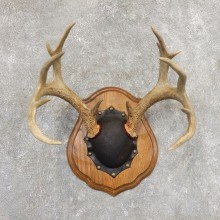 Whitetail Deer Antler Plaque Mount For Sale #21348 @ The Taxidermy Store