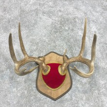 Whitetail Deer Antler Plaque Mount For Sale #22299 @ The Taxidermy Store