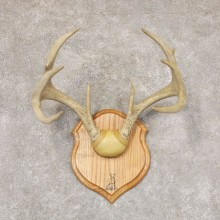 Whitetail Deer Antler Plaque Mount For Sale #22362 @ The Taxidermy Store