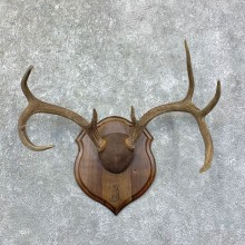 Whitetail Deer Antler Plaque Mount For Sale #22869 @ The Taxidermy Store