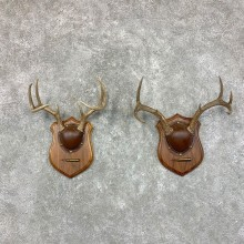 Whitetail Deer Antler Plaque Pair For Sale #22683 @ The Taxidermy Store