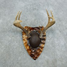 Whitetail Deer Antler Plaque Taxidermy Mount #18434 For Sale @ The Taxidermy Store