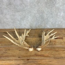 Whitetail Deer Antler Set For Sale #21513 @ The Taxidermy Store