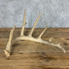 Whitetail Deer Antler Shed For Sale #21498 @ The Taxidermy Store