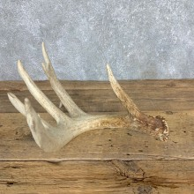 Whitetail Deer Antler Shed For Sale #21500 @ The Taxidermy Store