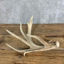 Whitetail Deer Antler Shed For Sale #21501 @ The Taxidermy Store