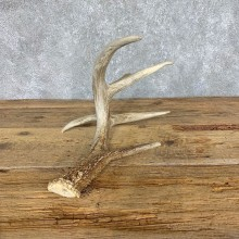 Whitetail Deer Antler Shed For Sale #21506 @ The Taxidermy Store