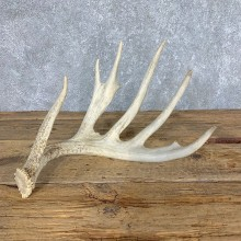 Whitetail Deer Antler Shed For Sale #21508 @ The Taxidermy Store