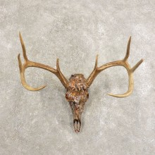 Whitetail Deer Dipped Skull Mount For Sale #21481 @ The Taxidermy Store