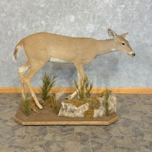 Whitetail Deer Doe Life-Size Mount For Sale #22572 @ The Taxidermy Store
