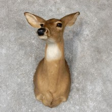 Whitetail Deer Doe Shoulder Mount For Sale #19423 @ The Taxidermy Store