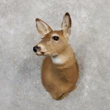 Whitetail Deer Doe Shoulder Taxidermy Mount For Sale