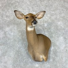 Whitetail Deer Doe Shoulder Mount For Sale #22886 @ The Taxidermy Store