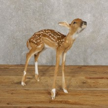 Whitetail Deer Fawn Life-Size Mount For Sale #20687 - The Taxidermy Store