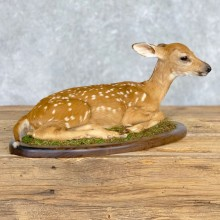 Whitetail Deer Fawn Life-Size Mount For Sale #21696 - The Taxidermy Store