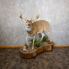 Whitetail Deer Life-Size Mount For Sale #18602 @ The Taxidermy Store