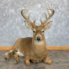 Whitetail Deer Life-Size Mount For Sale #23011 @ The Taxidermy Store