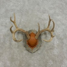 Whitetail Deer Antler Plaque Mount For Sale #17306  @ The Taxidermy Store