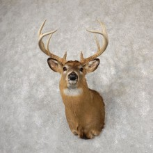 Whitetail Deer Shoulder Mount #18831 For Sale - The Taxidermy Store