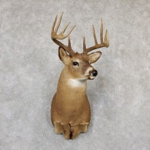 Whitetail Deer Shoulder Mount #19296 For Sale - The Taxidermy Store