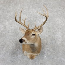 Whitetail Deer Shoulder Mount #19457 For Sale - The Taxidermy Store