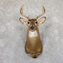 Whitetail Deer Shoulder Mount #19542 For Sale - The Taxidermy Store