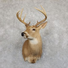Whitetail Deer Shoulder Mount #19543 For Sale - The Taxidermy Store