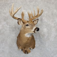 Whitetail Deer Shoulder Mount #19549 For Sale - The Taxidermy Store