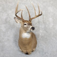 Whitetail Deer Shoulder Mount #19564 For Sale - The Taxidermy Store