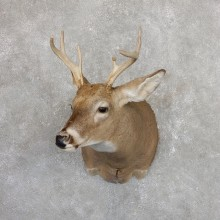 Whitetail Deer Shoulder Mount #19654 For Sale - The Taxidermy Store