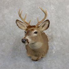 Whitetail Deer Shoulder Mount #19656 For Sale - The Taxidermy Store