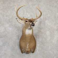 Whitetail Deer Shoulder Mount #19999 For Sale - The Taxidermy Store