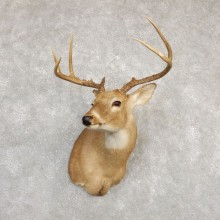 Whitetail Deer Shoulder Mount #20263 For Sale - The Taxidermy Store