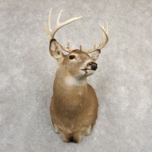 Whitetail Deer Shoulder Mount #20822 For Sale - The Taxidermy Store