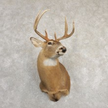 Whitetail Deer Shoulder Mount #20825 For Sale - The Taxidermy Store