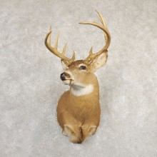 Whitetail Deer Shoulder Mount #20827 For Sale - The Taxidermy Store