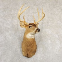 Whitetail Deer Shoulder Mount #20828 For Sale - The Taxidermy Store