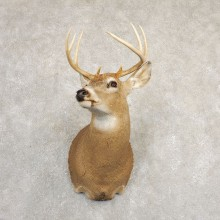 Whitetail Deer Shoulder Mount #20829 For Sale - The Taxidermy Store