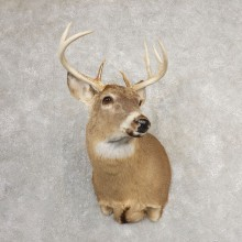 Whitetail Deer Shoulder Mount #21076 For Sale - The Taxidermy Store