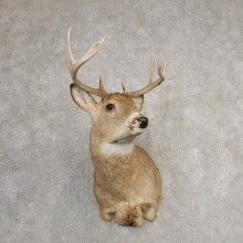 Whitetail Deer Shoulder Mount #21078 For Sale - The Taxidermy Store