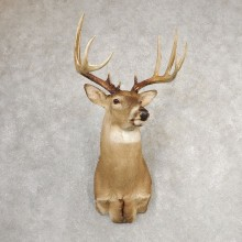 Whitetail Deer Shoulder Mount #21084 For Sale - The Taxidermy Store