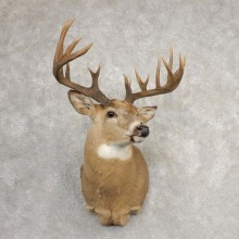 Whitetail Deer Shoulder Mount #21086 For Sale - The Taxidermy Store