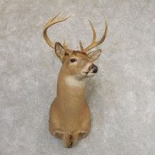 Whitetail Deer Shoulder Mount #21317 For Sale - The Taxidermy Store