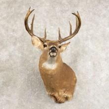Whitetail Deer Shoulder Mount #21475 For Sale - The Taxidermy Store
