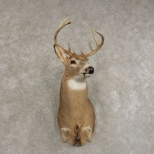 Whitetail Deer Shoulder Mount #21476 For Sale - The Taxidermy Store