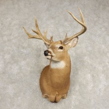 Whitetail Deer Shoulder Mount #21583 For Sale - The Taxidermy Store