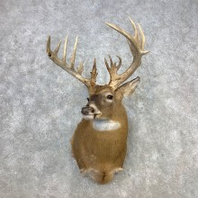 Whitetail Deer Shoulder Mount #21653 For Sale - The Taxidermy Store