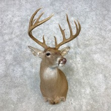 Whitetail Deer Shoulder Mount #21655 For Sale - The Taxidermy Store