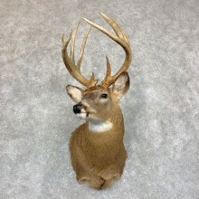 Whitetail Deer Shoulder Mount #21747 For Sale - The Taxidermy Store