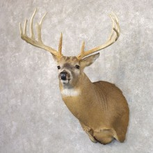 Whitetail Deer Shoulder Mount #22156 For Sale - The Taxidermy Store